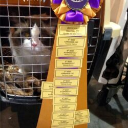 Seal Bicolor Ragdoll Supreme Grand Champion